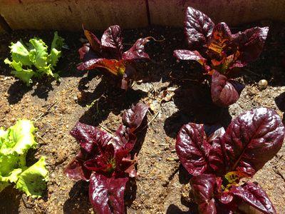 Vegatble garden spring 2013
