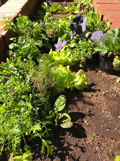Vegatble garden spring 2013 3