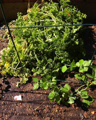 Vegatble garden spring 2013 5